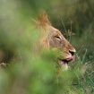 Lion- South Afric...