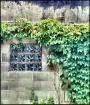 vine and window o...
