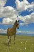 Wild Horse In Pry...