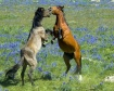 Dueling Mustangs