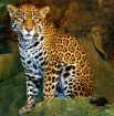 Spotted Leopard