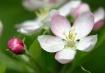Apple Blossoms #4