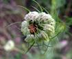 Ladybug in Hiding