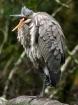 Heron at Goldstre...