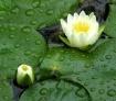 Water Lililies at...