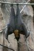 Fruit Bat 1