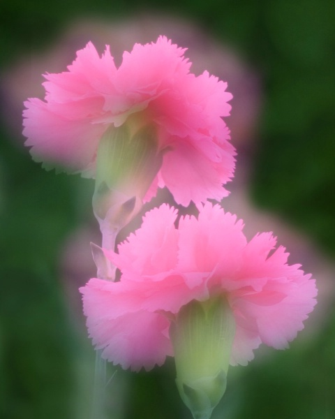 Dreaming of Carnations