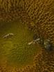 Pollen Poachers
