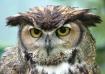 Rainy Day Owl