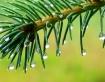 Raindrops on spru...