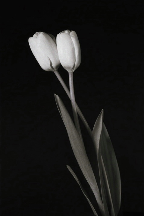 Two Tulips - ID: 1136478 © Nora Odendahl