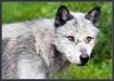 Through Wolf'...