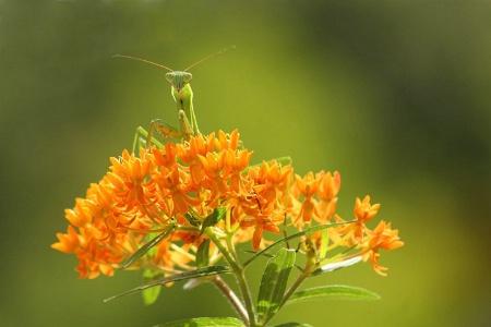 Mantis and Milkweed