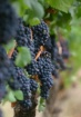 Grapes, Oregon Wi...