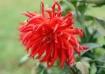 Red Autumnwinner