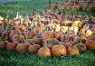 Pumpkins waking u...