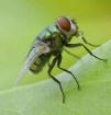 fruit fly bubble