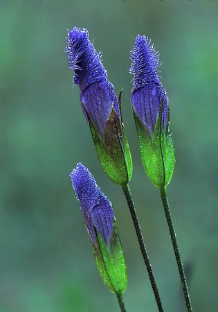 Fringed-gentians
