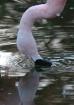 Familiar Flamingo...