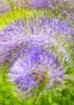 Purple Twirl