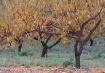 Peach orchard aft...