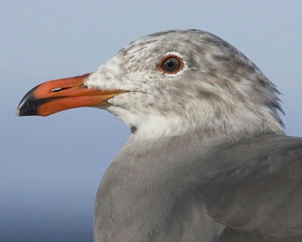 Eye of the Gull