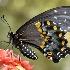 © Michael Cenci PhotoID# 1516956: black swallowtail