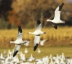 Snow Geese Fly By
