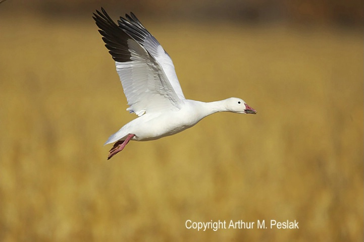 Snow Geese Fly By 2