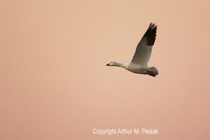 Snow Goose at Sunset against Pink Sky
