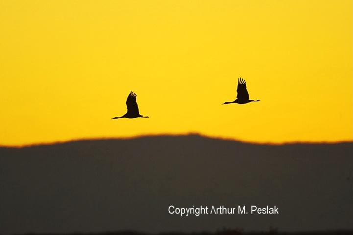 Sand Hill Crane Flying Silhouette at Sunrise