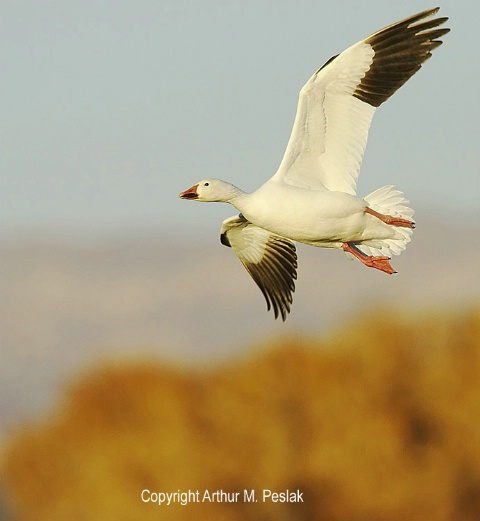 Snow Geese Fly By 3