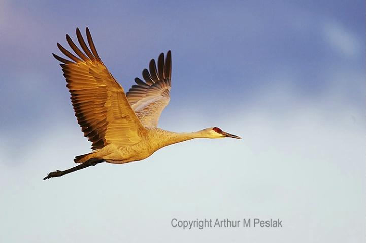 Sand Hill Crane in Flight 3