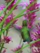 Hummingbird in An...