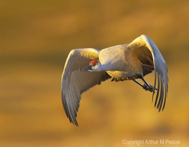 Sand Hill Crane Flying at You