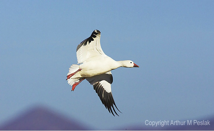 Snow Geese Fly by 4