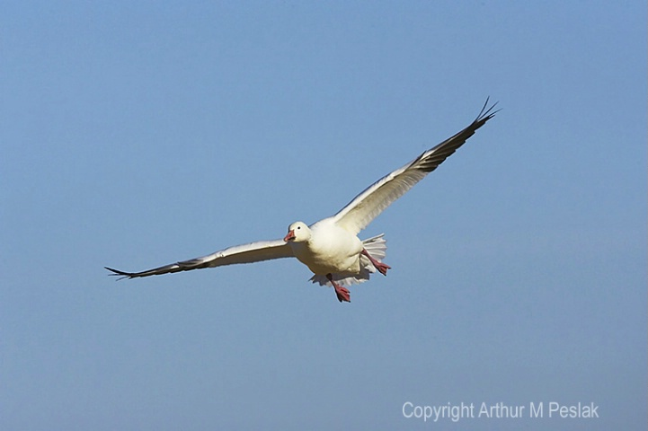 Snow Geese Flying At you