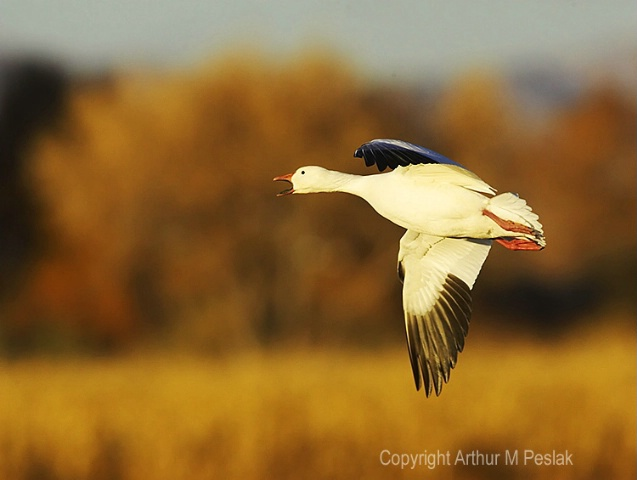 Snow Geese Fly by 5