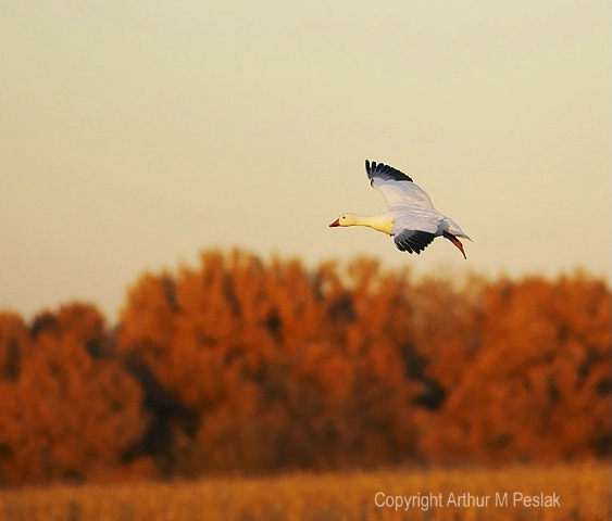 Snow Goose Fly By 7