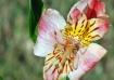 A Lily Beauty