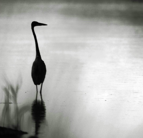 Great Blue Heron Silhouette - ID: 1581111 © Karen L. Messick