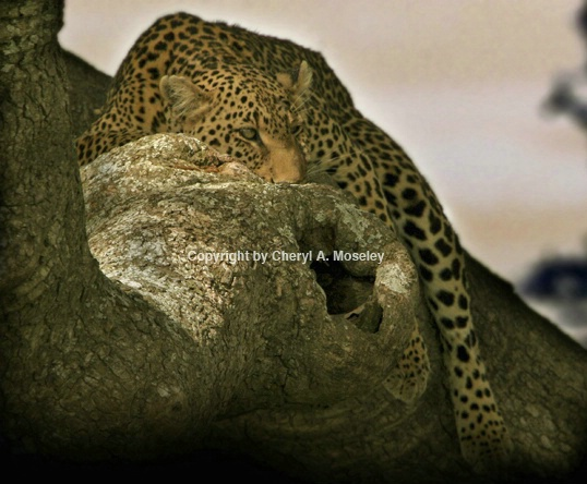 Leopard in tree yellowish sunset - ID: 1617380 © Cheryl  A. Moseley