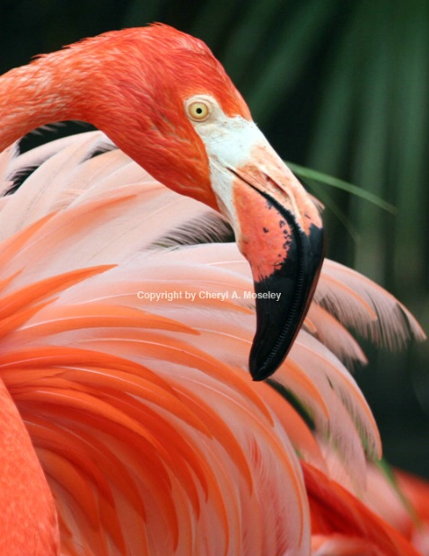 Flamingo from Caribbean 7927_2 - ID: 1617467 © Cheryl  A. Moseley