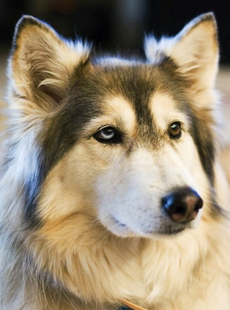 Nikita...Wolf/Husky Hybrid