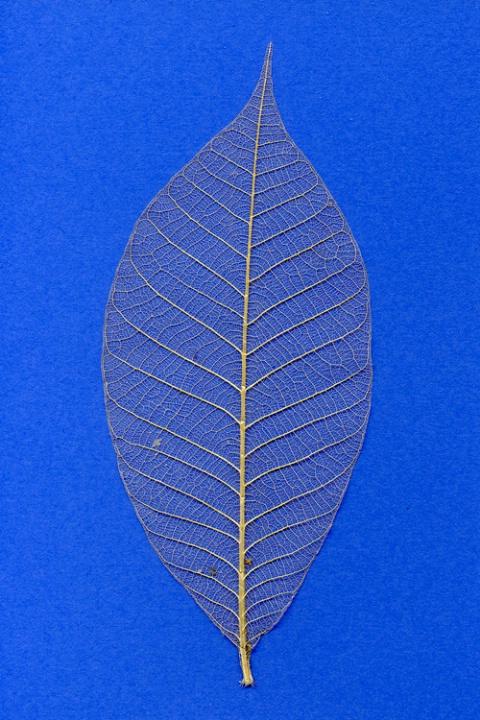 Empty Leaf on Blue