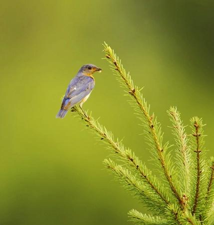 Eastern Bluebird on Pine Tree