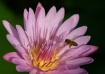 Water Lily with B...