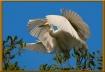 Four Wings Egret