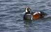 Harlequin Duck 2