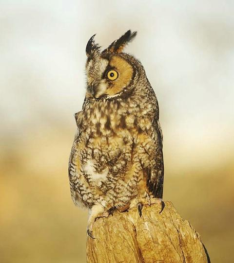 Long-eared Owl (Captive at Rehab Center)